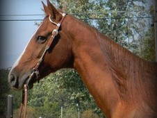 Beginner Safe Quiet Gaited Gelding