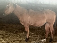 Gelding Barrel Reining Prospect Reduced Price!