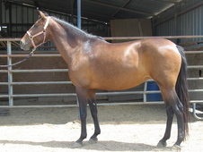 Lovely Bay Lusitano Broodmare APSL approved