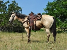 VIDEO**Gentle & Fancy 8 Yr AQHA Buckskin Ranch Gelding