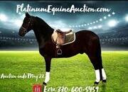 Place your bids at www.PlatinumEquineAuction.com Fancy Friesian Gelding! Rides and Drives!