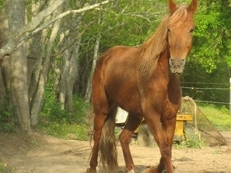 Gorgeous Chestnut mare with Flaxen mane