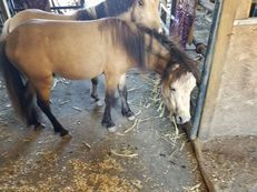 2 year old buckskin mini/pony stud