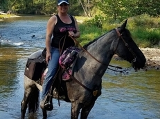 Blue roan TWH Tennessee Walking Horse Mare