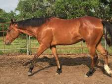Cute Bay gelding QH for new homes
