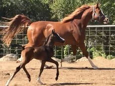 Purebred Arabian mare Produces show quality foals