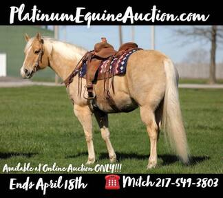 ONLINE AUCTION!!! Bid at www.PlatinumEquineAuction.com Beginner and Family Safe Ranch/Trail Horse! Fancy broke, lots of experience, user friendly!!!
