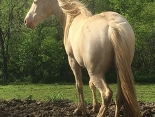 CREMELLO TW Mare 10 years old, trail ridden and proven brood mare.