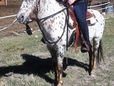 Eye Catching Leopard Appaloosa Mare Rides English or Western