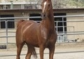 Arabian Chestnut Mare 6 years SWEEPSTAKES NOMINATED!!!