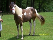 2015 APHA BAY TOBIANO FILLY- FLYING STORM KITE & A TRU ROLEX CROSS