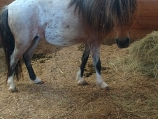 Beautiful little Bay Roan Mini Mare