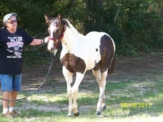 BEAUTIFUL 2017 APHA FILLY