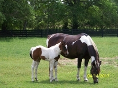 MIA ROLEX & 2017 APHA FILLY