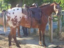 Blanketed Appaloosa Gelding Well trained