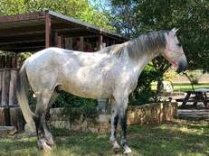 Andalusian Cross Gelding
