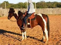 Tomahawk - Extremely Good Looking and Gentle Bay Paint Gelding + Video