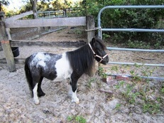 Pintaloosa Black and White Small Miniature Horse
