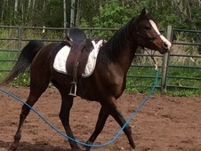 Fit and fine! Beautiful well trained Arabian mare!