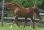 Egyptian Arabian - Pride of the Desert, Fancy Moving Royally Bred Stallion!  for sale in United States of America