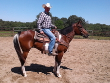 9 Year Old Registered Tobiano Paint Gelding