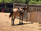 Beautiful gentle buckskin gelding  for sale in United States of America