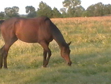 Sweet Bay Thoroughbred Mare