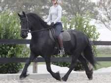 Smart and talented dressage horse