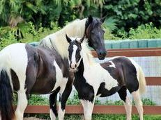 Gorgeous Friesian cross, large pinto dressage, proven mare