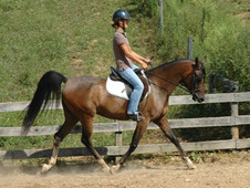 Beautiful 15. 2h Straight Egyptian Gelding