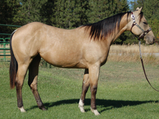 Supper gentle buckskin tennessee walker mare
