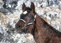 *REDUCED to $1600**Very Stout, Athletic AQHA/APHA Stud Colt