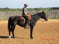 Dan - Extra Safe Brown Gelding - with Chrome