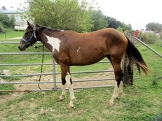 Flashy Paint Bay Tobiano Calm Gelding