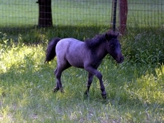 FLASHY BLUE ROAN AMHR-AMHA COLT