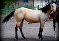 All around prospect Buckskin Filly