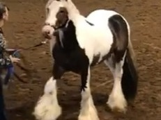 GYPSY VANNER STALLION AT STUD SD CHIEF SON FLASHY TALL TONS OF HAIR