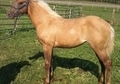 SHARP PALOMINO FILLY WITH DUN MARKINGS !!