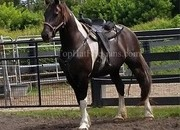 Black and White Barock Pinto Mare