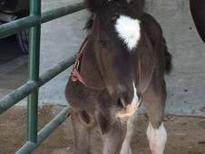 Flashy Gypsy colt