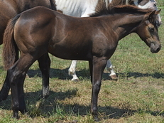 Oklahoma Star, Zans Rawhide, Black/Brown filly