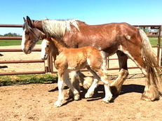 2017 Registered Clydesdale Colt