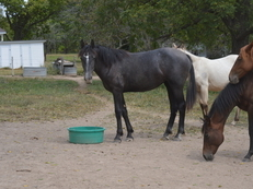 Yearling draft horse cross