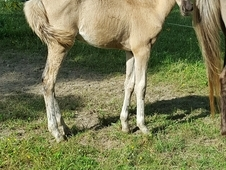 Outstanding Silver Grulla Roan Filly