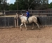 Great all around family horse - 4H, parades, playdays and more  for sale in United States of America