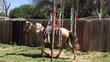 Great all around family horse - 4H, parades, playdays and more  for sale