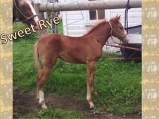 Very Sweet Rocky Mountain Gaited horse Filly