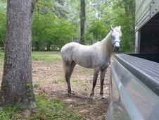 8yr old young white arabian mare $2500