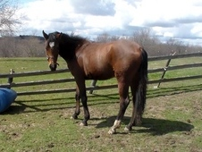 for sale 3yr old rpsi mare