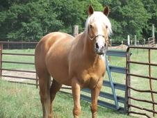 Palomino Mare in Foal
